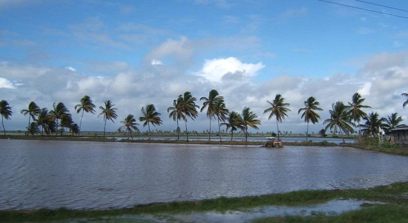 Arrozal en Guyana
