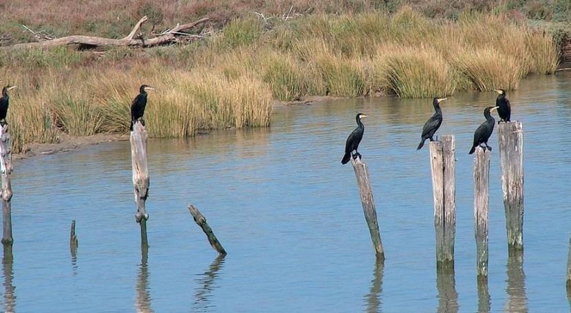 Cormoranes en Doñana (Wikipedia/CC).