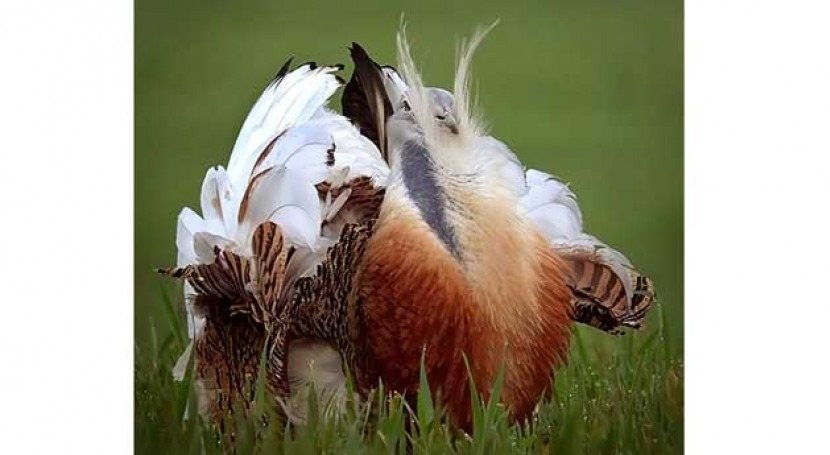 cambio climático 'retiene' dos aves esteparias sur Europa