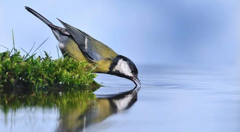 Carbonero común bebiendo agua. Autor: Javier Castro