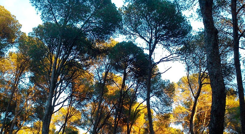 bosque pino mediterráneo ayuda predecir efectos cambio climático