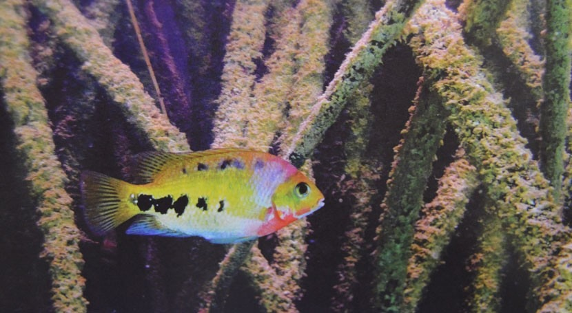 ¿Cuáles son peces dulceacuícolas México peligro extinción?