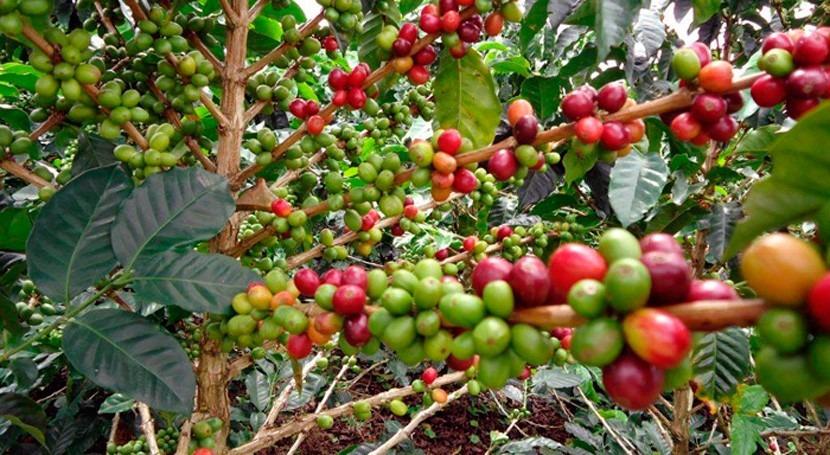 Reduciendo vulnerabilidad al cambio climático sector cafetalero Guatemala