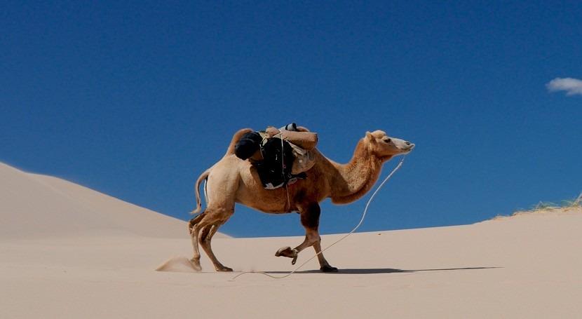 Australia sacrificará tiros miles camellos salvajes causa sequía
