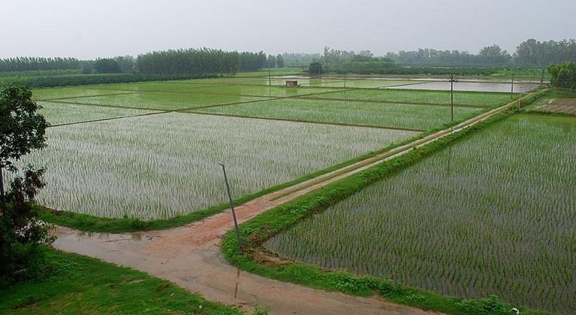 Punjab, tierra cinco ríos convertida granero trigo India