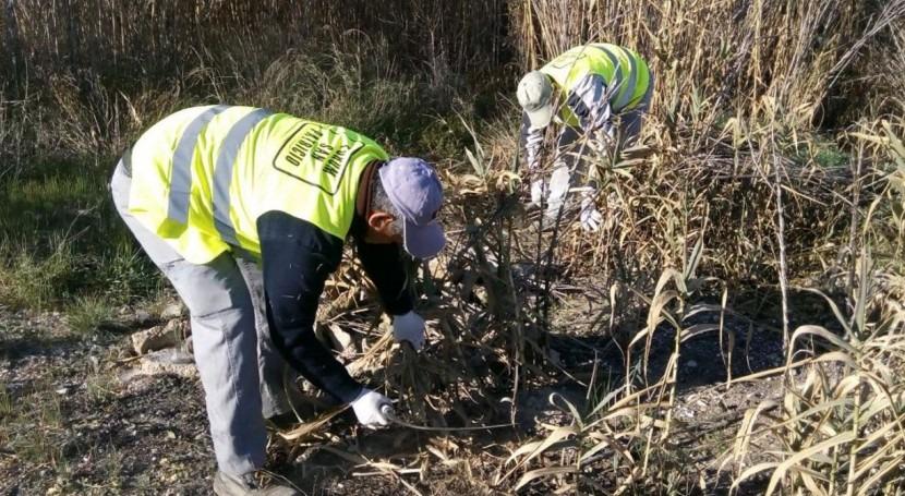 Comienzan trabajos eliminar caña invasora y recuperar bosque ribera Segura