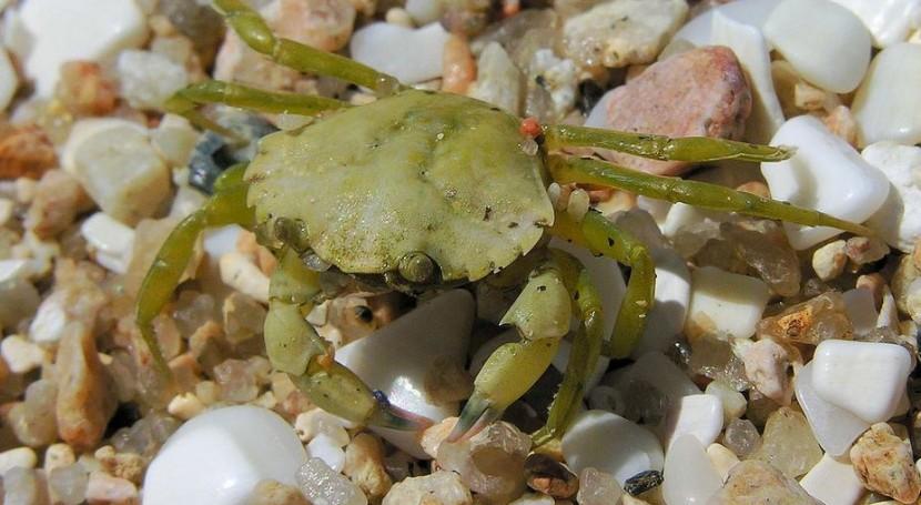 Cangrejo verde (Wikipedia/CC).