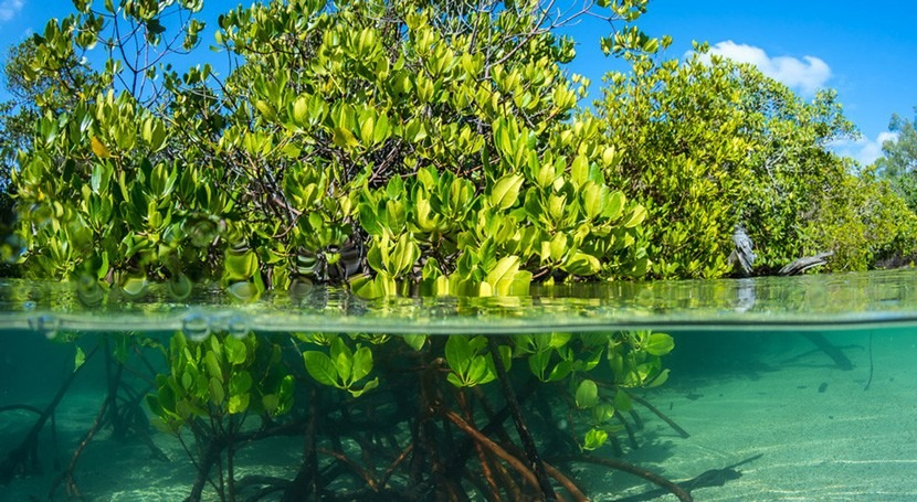 manglares son vitales: seis cosas que cada nosotros podemos hacer ellos