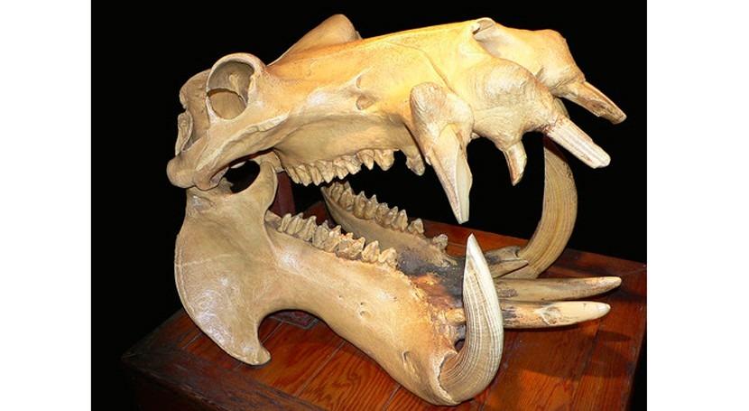 ¿Cómo afectaron cambios climáticos evolución fauna europea Pleistoceno?