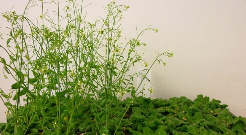 ¿Puede floración plantas determinar qué cultivos son adaptables al cambio climático?
