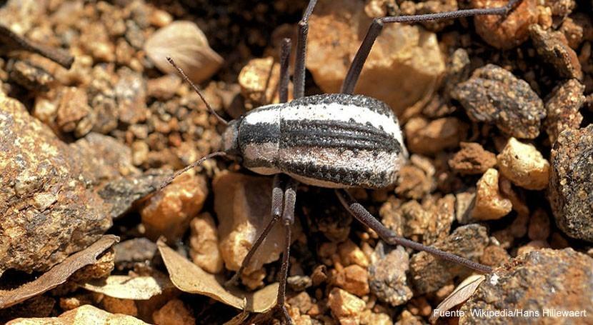 escarabajo tenebriónido: cuando naturaleza inspira nuevas tecnologías agua