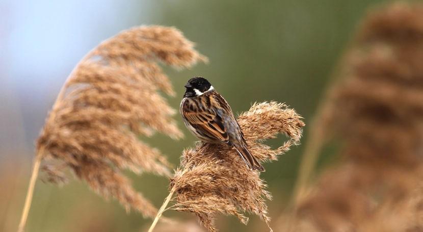 Aumenta población escribano palustre, ave amenazada s'Albufera