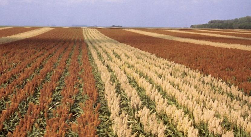 Campo de cultivo de sorgo (Wikipedia/CC).