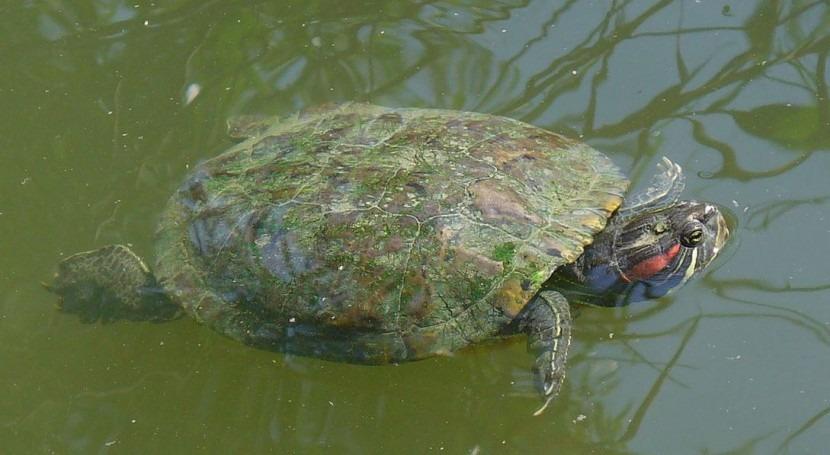 ciertas especies invasoras pueden beneficiarse del calor, como los galápagos de Florida (Wikipedia/CC).
