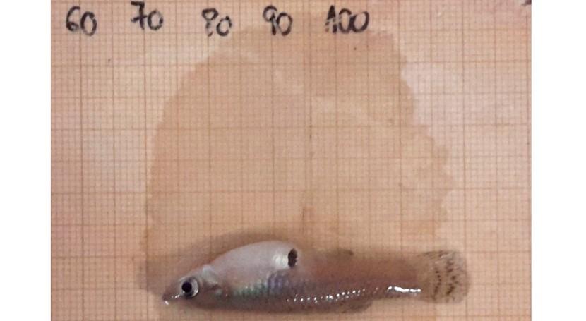 ¿Cómo evitar dispersión gambusia ecosistemas acuáticos?