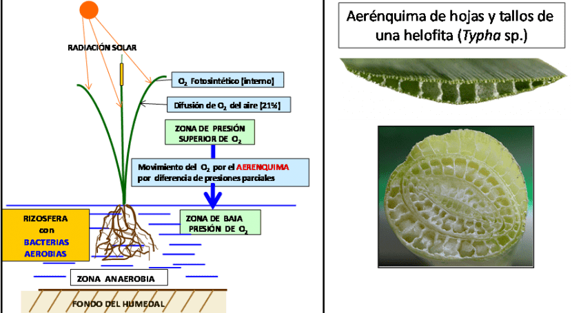 "depuración mediante ""Macrófitas flotación"" contada autor (I)"