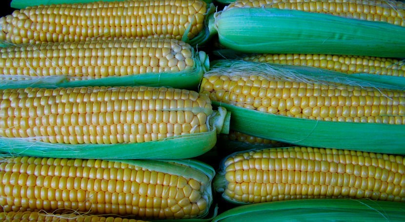lodos depuradora mejoran producción y calidad maíz