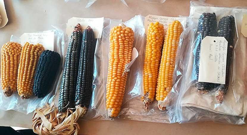 ¿Es posible cultivar variedades maíz resistentes sequía?