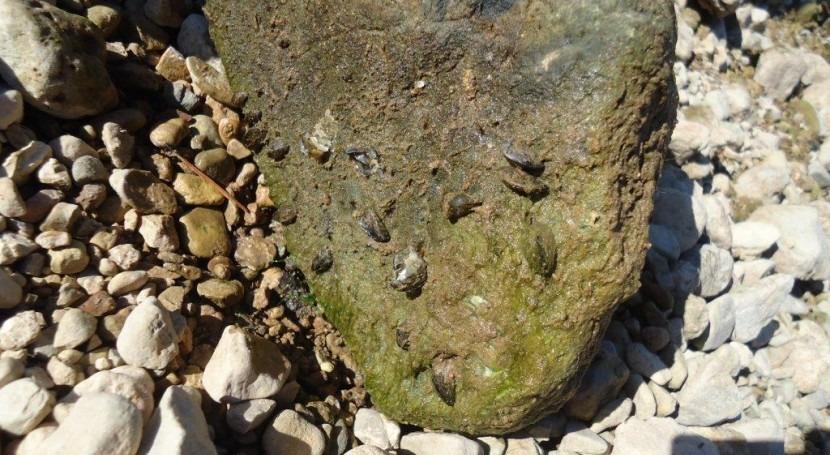Detectado mejillón cebra adulto embalses Guiamets (Tarragona) y Barasona (Huesca)