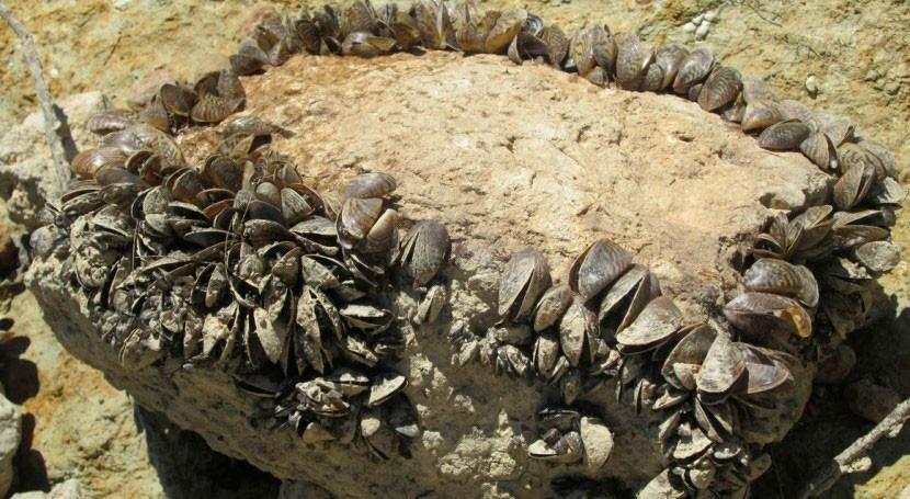 Publicado informe control larvario mejillón cebra embalses Ebro