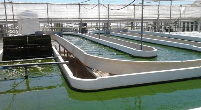 Alimentar desechos otros: microalgas comen purines granjas porcinas