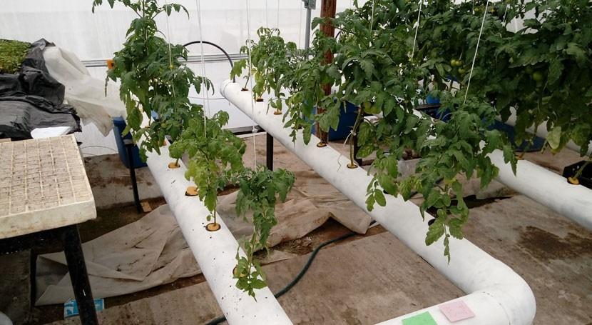 ¿Cómo obtener más tomates utilizando menos agua?
