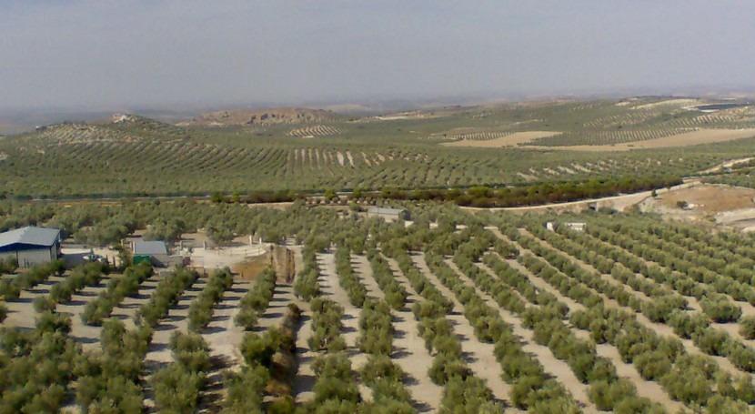 sequía y altas temperaturas provocan campaña exprés y atípica aceite oliva