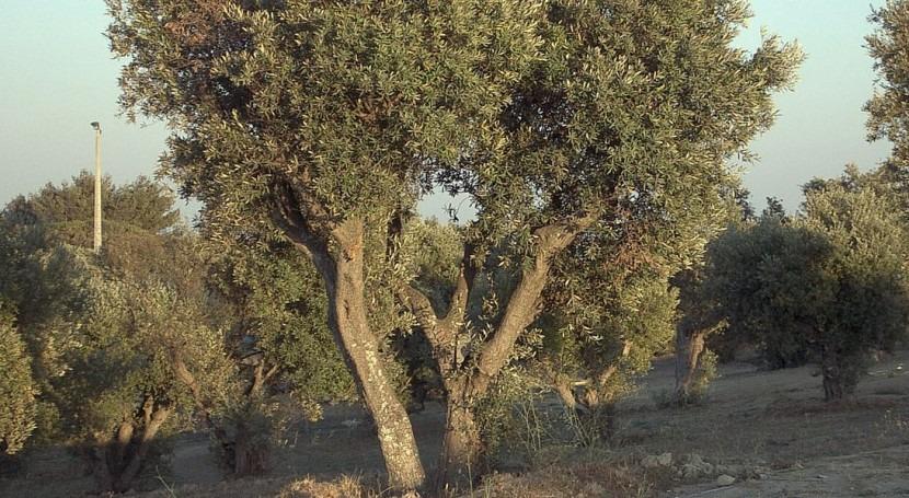 riego deficitario controlado olivos permite producir aceite más saludable