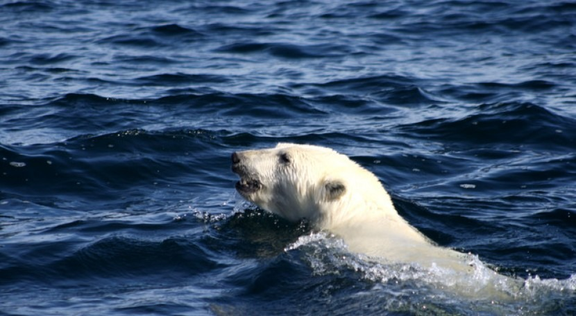 osos polares, obligados nadar cada vez más deshielo Ártico