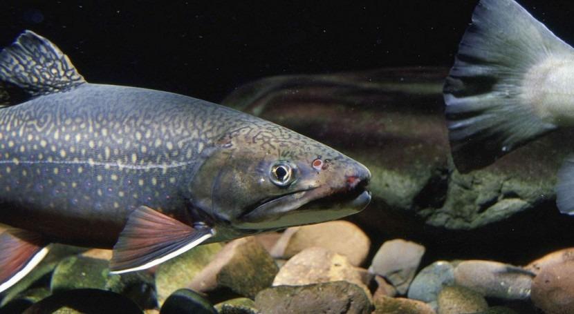 """peces ríos españoles se """"beben"""" insecticidas"""