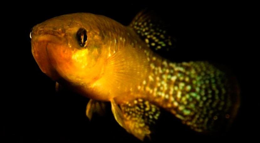 pez killi, evolutivamente resistente contaminación agua