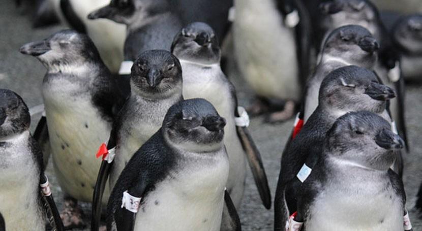 cambio climático y pesca amenazan supervivencia pingüinos
