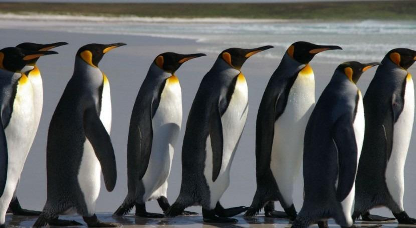 cambios climáticos amenazan supervivencia pingüino rey