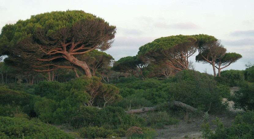 polen pinos, buen indicador cambio climático España