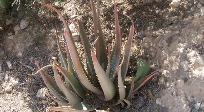 Aloe vera: Pros y contras exceso agua recibida lluvias