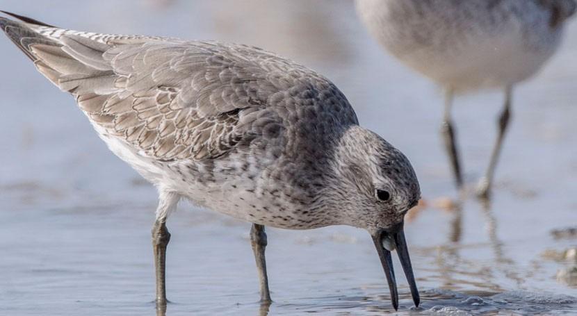 aves África también se ven afectadas cambio climático Ártico