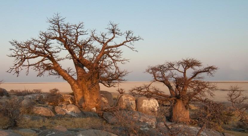 Baobab, Árbol Agua que desaparece explicación