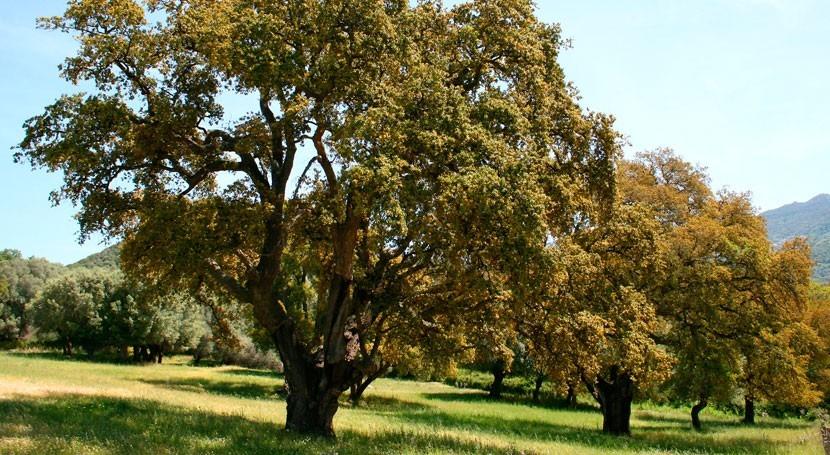 Quercus suber (Wikipedia/CC).