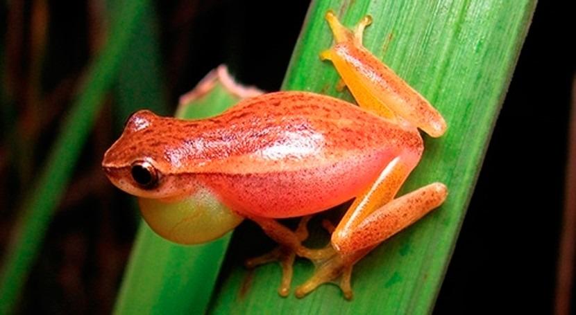 ranas arborícolas Sudamérica, amenazadas cambio climático