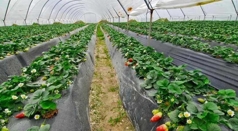 WWF pide Junta Andalucía que no ceda agricultura ilegal Doñana