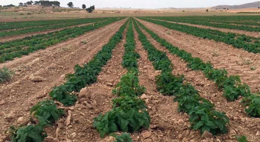 Ventajas implantar riego goteo subterráneo cultivos