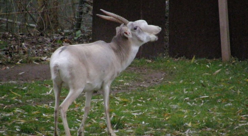 Antílope saiga (Wikipedia/CC).