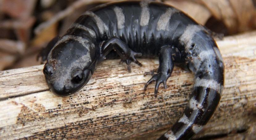 Salamandra (Imagen: Greg Schechter/CC)