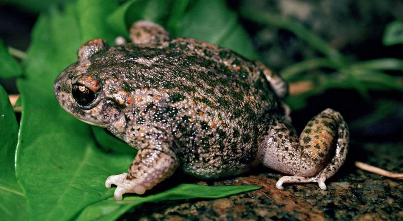 El sapo partero ha sido una de las especies rescatadas (wikipedia/CC)
