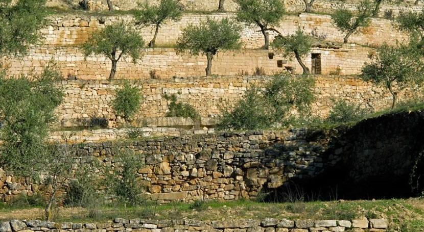 Cultivo de olivos en terrazas con importantes paredes de piedras.