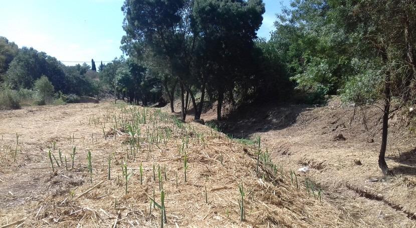Desbroce cauce torrente que transcurre 3 municipios Baix Penedès