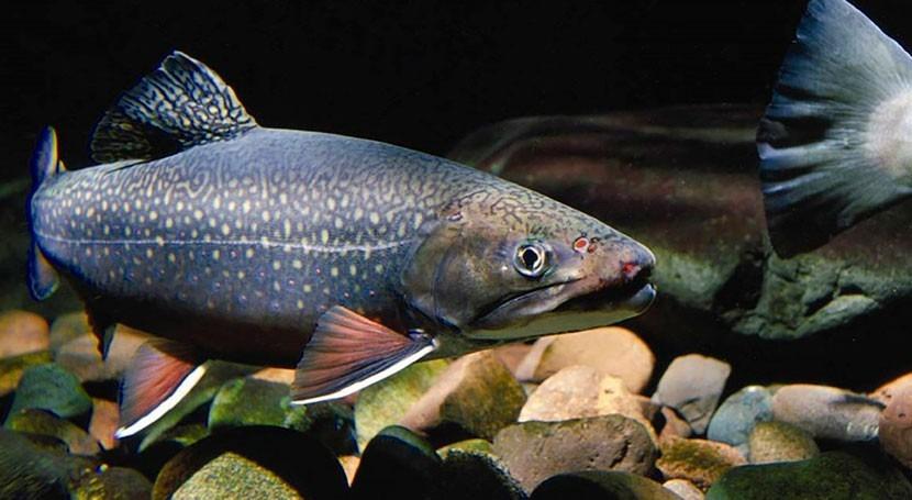 domesticación peces invasores Colombia: ¿Beneficioso o perjudicial?
