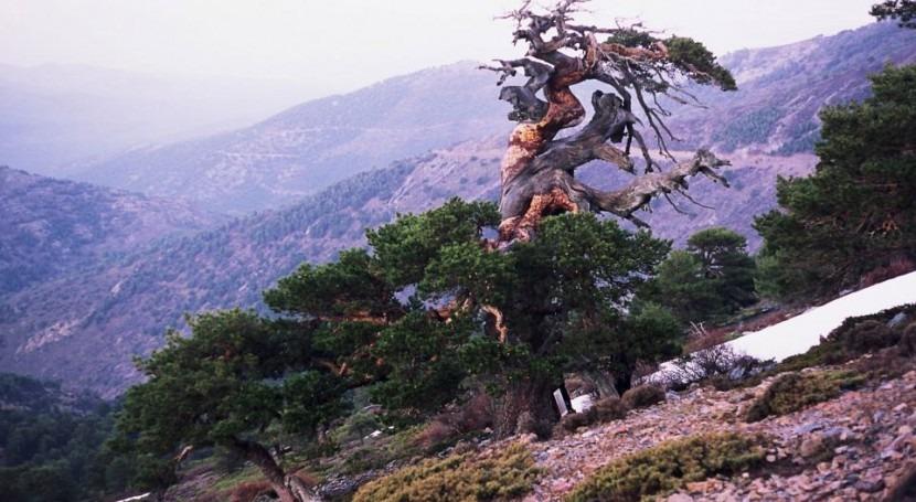 cambio climático dispara sincronización crecimiento árboles