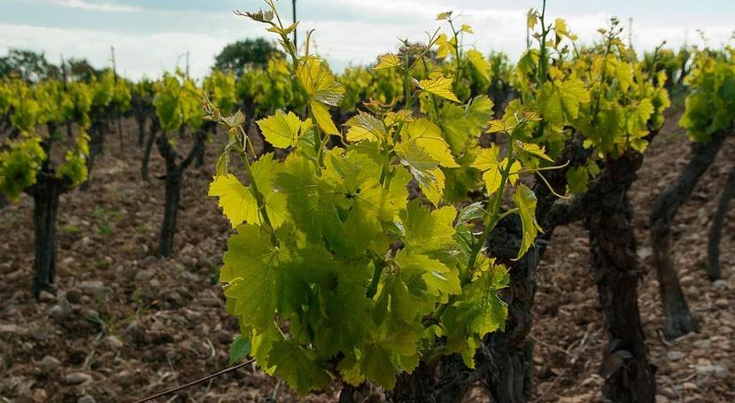 ¿Cómo obtener información estado hídrico viñedo?