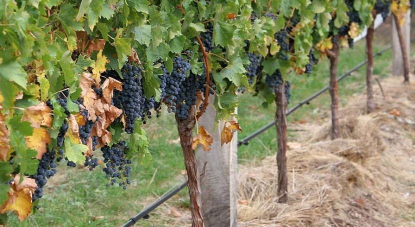 producción vino España cae 8% 2015 debido sequía